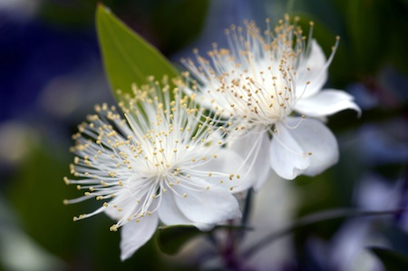 pm43t-myrtle-in-flower1